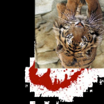 Tiger's Blood's Photo